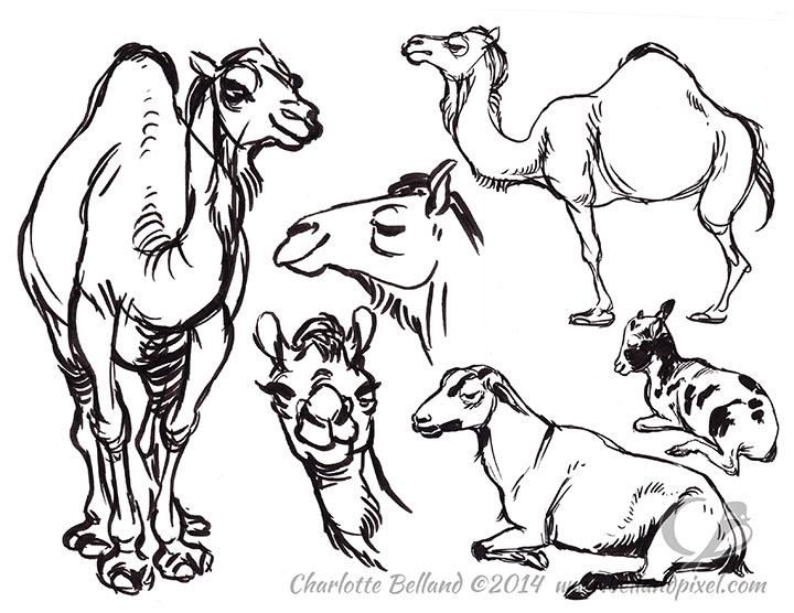 14_36_cbelland_CBUS_Zoo_Camels